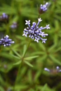 Blåmåra, Asperula orientalis, Blåmåra 'Blue Surprise'