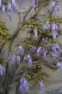 Blåregn, Wisteria sinensis