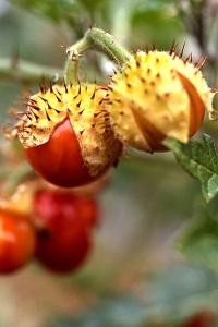 Blek taggborre, Solanum sisymbriifolium