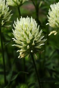 Blekklöver, Trifolium ochroleucon, Svavelklöver