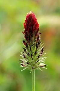 Blodklöver, Trifolium incarnatum