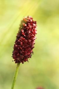 Blodtopp, Sanguisorba officinalis