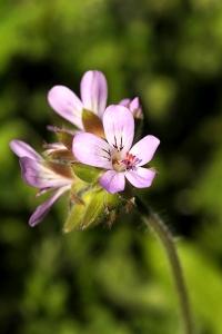 Bollpelargon, Pelargonium capitatum, pelargon, pelargoner