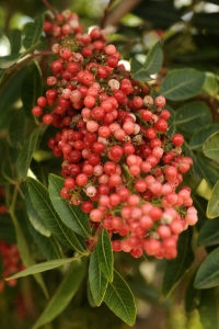 Brasilianskt pepparträd, Schinus terebinthifolius, rosépepppar