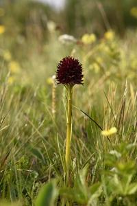 Brunkulla, Gymnadenia nigra