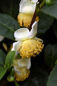 Tebuske, Camelia sinensis, The