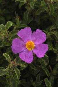 Gråbladig cistros, Cistus creticus, Cistus incanus ssp. creticus