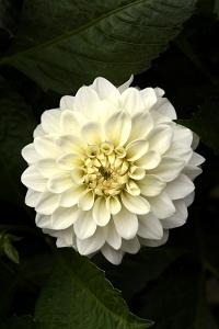Dahlia 'Hypnotica White'