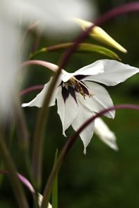 Doftlilja, Gladiolus murielae