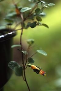 Dvärgfuchsia, Fuchsia procumbens