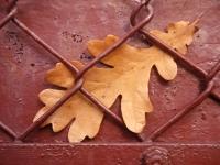 Eklöv, Quercus robur