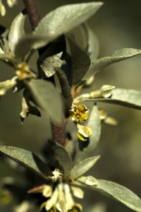 Silverbuske, Elaeagnus commutata