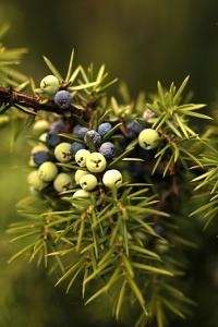 En, Juniperus communis