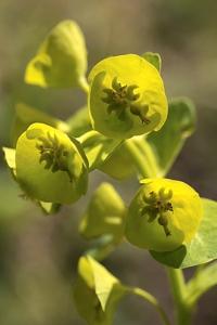Euforbia, Euphorbia, törel