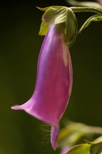 Fingerborgsblomma, Digitalis purpurea