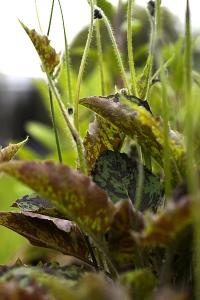 Fläckfibbla, Hieracium maculatum, Hieracium macolusum
