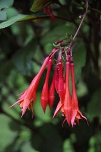 Fuchsia triphylla, Triphylla-gruppen, Pipfuchsia