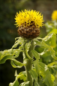 Gulklint, Centaurea macrocephala, Castle Fraser, Skottland