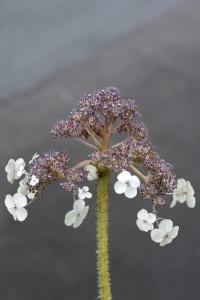 Sammetshortensia, Hydrangea aspera ssp. sargentiana, hortensia