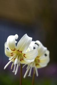 Hundtandslilja 'White Beauty' Erythronium californicum
