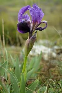 Iris bicapitata, monte gargano