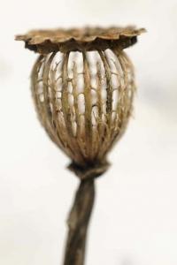 Jättevallmo, Papaver pseudoorientale, Papaver setiferum, vallmo