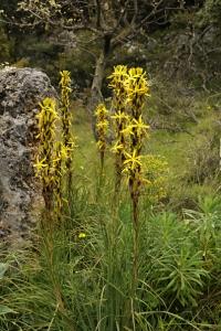 Junkerlilja, Asphodeline lutea
