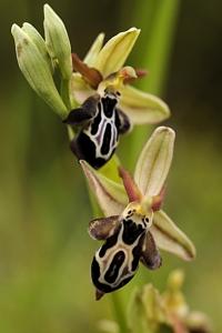 Kretas ofrys, Ophrys cretica