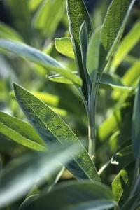 Kryddsalvia, Salvia officinalis