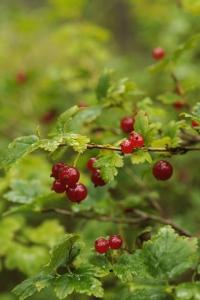 Måbär, Ribes alpinum
