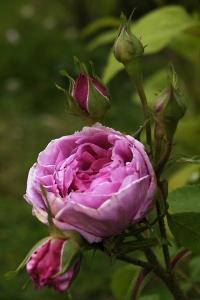 Ros, Madame Boll, Comte de Chambord