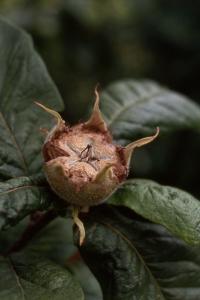 Mispel, Mespilus germanica, Crataegus germanica