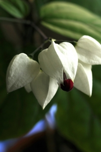 Ödesträd, Clerodendrum thomsoniae, brokklerodendrum, klerodendrum
