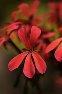 Pelargon 'Dresden pink', pelargonium