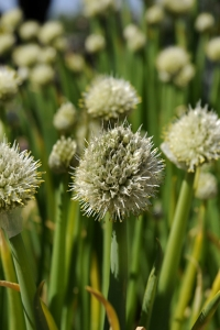 Piplök, Allium fistulosum