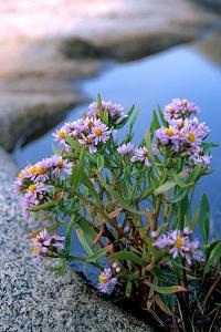 Strandaster, Tripolium pannonicum ssp. tripolium, Tripolium vulgare