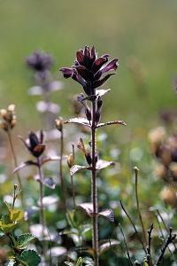 Svarthö,  Bartsia alpina