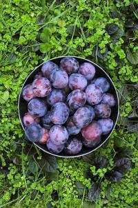 Plommon, Prunus domestica ssp. domestica