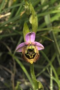 Praktofrys, Prakt-ofrys, Ophrys tenthredinifera, Prakt-ofrys