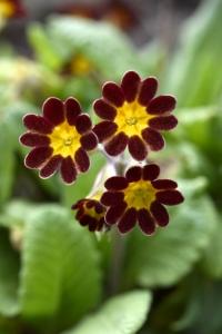 Trädgårdsviva 'Gold Lace', Primula x polyantha