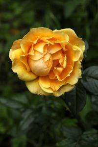 Ros 'Princess Alice', Brite Lites, Zontarose, Zontarosen, Zonta