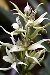 Prosthechea fragrans, Grönvit encyklia