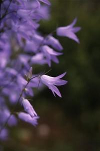 Rapunkelklocka, Campanula rapunculus