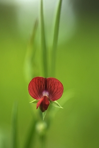 Rödvial, Lathyrus cicera