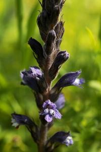 Röllikesnyltrot, Orobanche purpurea, snyltrot, snyltrötter