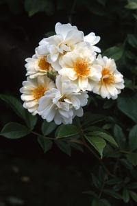 Ros, 'Helena renaissance', honungsros, rosa helene