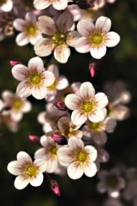 Rosenbräcka, Saxifraga arendsii