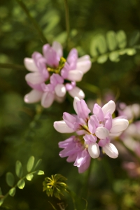 Rosenkronill, Securigera varia, Kronill