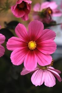 Rosenskära, Cosmos bipinnatus