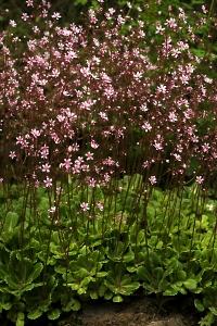 Skuggbräcka,  Clarence Elliott, Saxifraga umbrosa, urbium, stenbräckeväxter